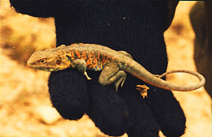 Picture of a lizard found in the Flinders Ranges