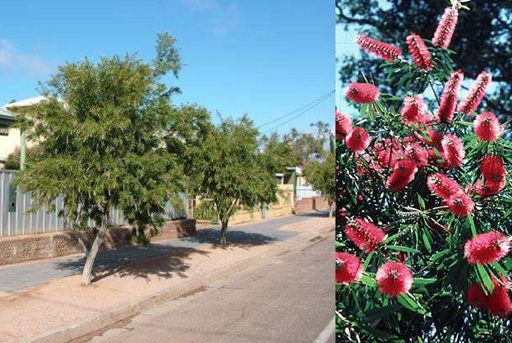 Two image collage. First image shows existing street tree plantings of bottlebrush. They are small trees with bushy, bright green foliage and a short exposed trunk. The second image shows the tree in bloom, covered in large cylindrical bottle brush shaped flowers, bright red in colour.
