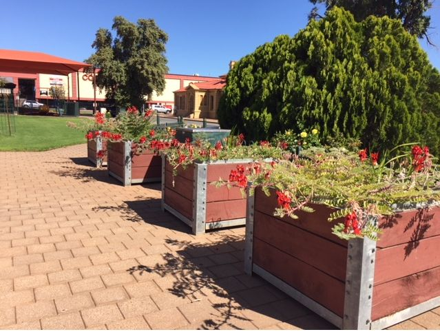 A row of timber and metal planter boxes full of Sturt Desert Pea plants in flower on the paved area of Gladstone Square near the flagpoles