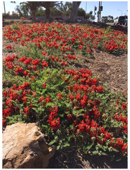 Garden bed full of flowering Sturt Desert Peas