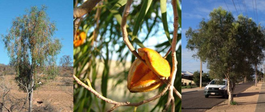 Three image collage. First image shows a Weeping Pittosporum in the wild. It is short, narrow tree with mid to light green draped leaves and silver bark. The second image shows a close up of the Weeping Pittosporum leaves and an open seed pod. The leaves are narrow and long, mid to light green. The seedpod is large and yellow and opens like a beak. The third image is a photo of Wills street's existing tree plantings.