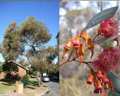 Two image collage. First image shows an established coral gum street tree. The tree, small and stout in form, with beautiful flowers, reaches between 4 to 11 metres in height. The second image is a close up of the flowers and buds. It produces clusters of orange barrel-shaped buds with horned caps, which are followed by prolific red or pink flowers between August and December.