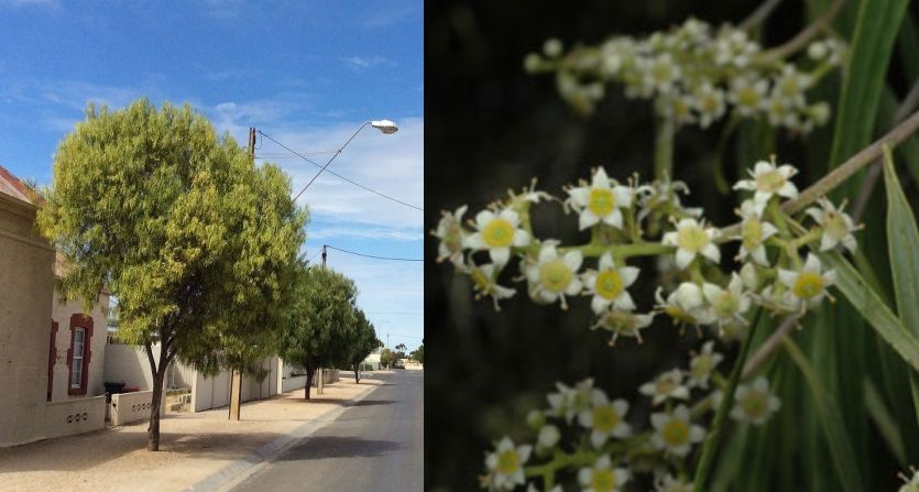 Two image collage. First image shows established street trees. Second image is a close up of small, star-shaped white flowers.